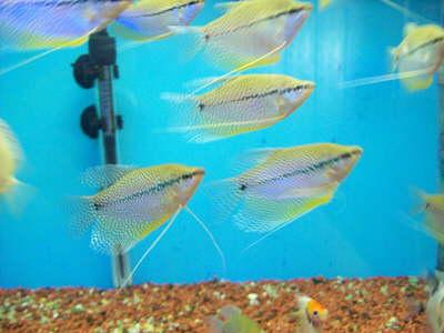 db Mosaikfadenfisch1