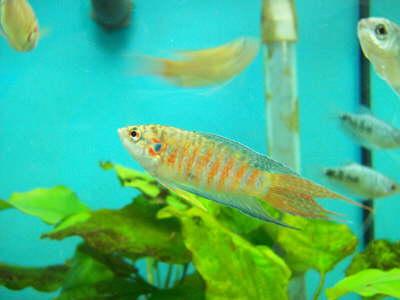 db Paradiesfisch1