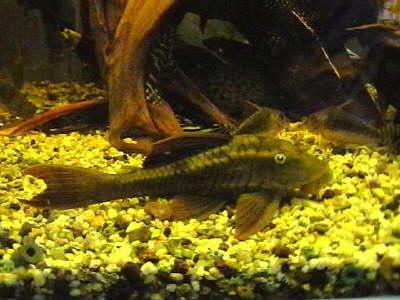 db db 00729 lda029red-brown-panaque21