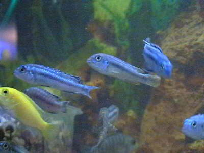 db db 00844 melanochromiselektrik-blue21